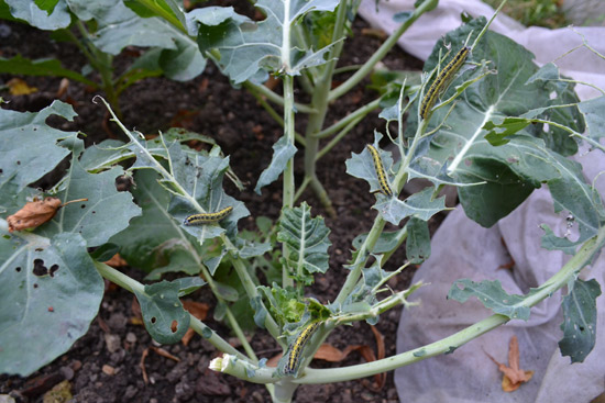 Cabbage Caterpillars